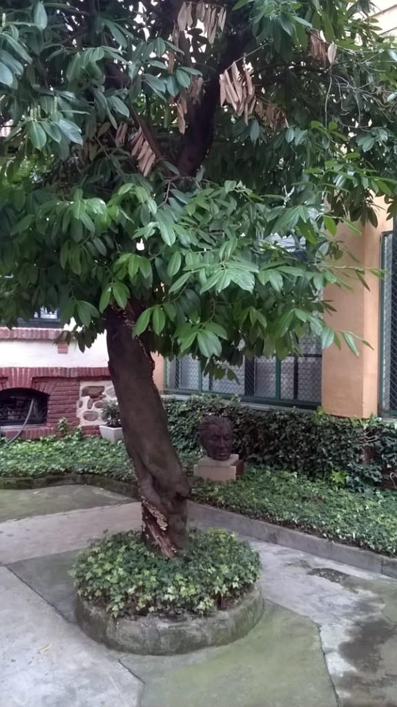 El lauro del patio de la casa de Gamoneda.